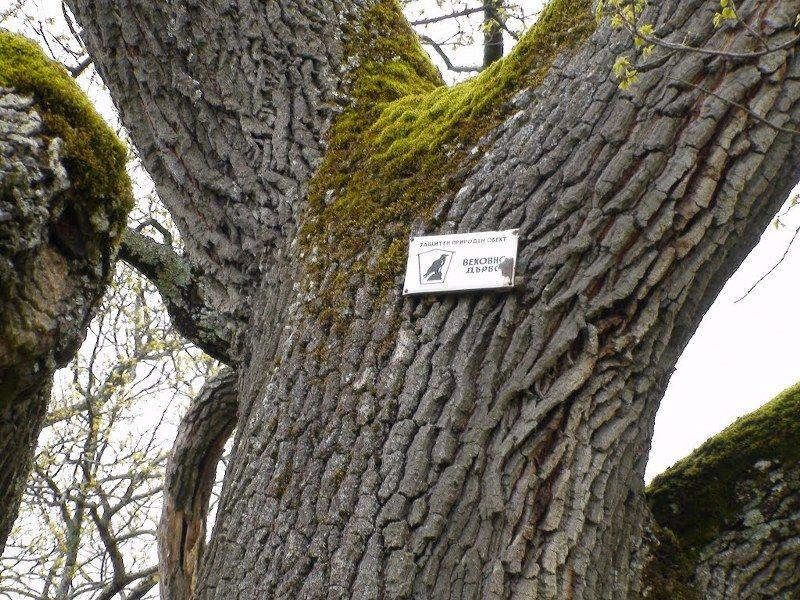 Вековните дървета в Плевен - Начален учител Милена Борисова - Плевен